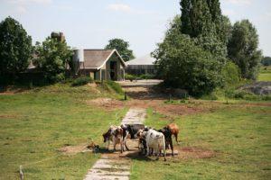 Vermast Fotografie - koeien bij Zwolle