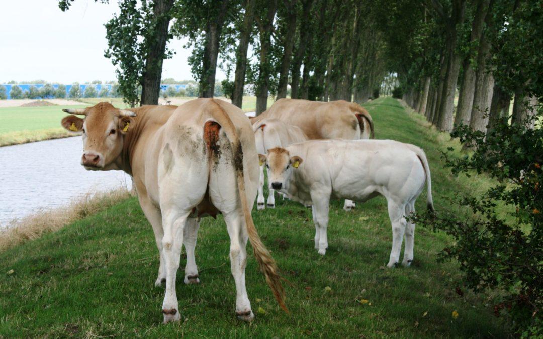 Kalf bij de koe, zo gek is de Tweede Kamer dus niet!